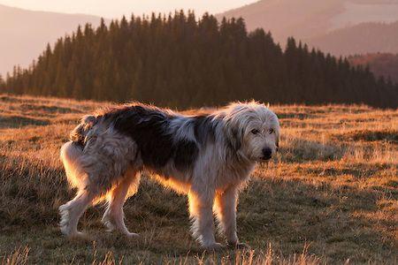 Romanian shepherd dog (breed: Mioritic) in the Munti Tarcu Natura 2000 site. Southern Carpathians, Mun?ii ?arcu, Cara?-Severin, Romania.