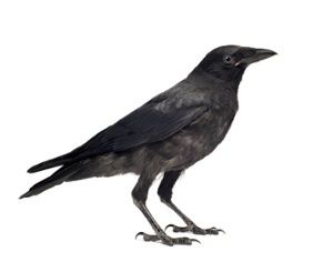 Caw vs. Kraa: meaning in the calls of crows and ravens