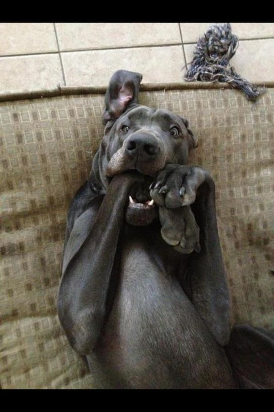 21 Best Toys For Great Danes Funny Animals Funny Dogs Dogs