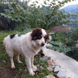 Greek Shepherd