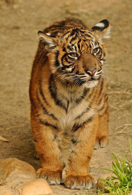 Adorable, Tiger cub
