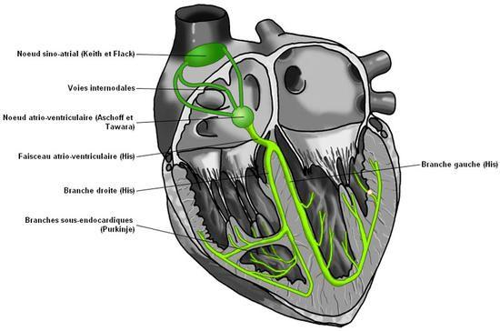 coeur humain - Recherche Google