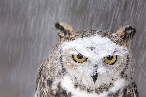 great horned owl in the snow