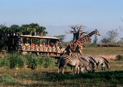 Animal Kingdom at Walt Disney World has a safari where you get to see all sorts of animals roaming around.