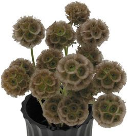 Scabiosa pods- great, funky accents to any bouquet or arrangement!  And these little guys dry up very nicely!