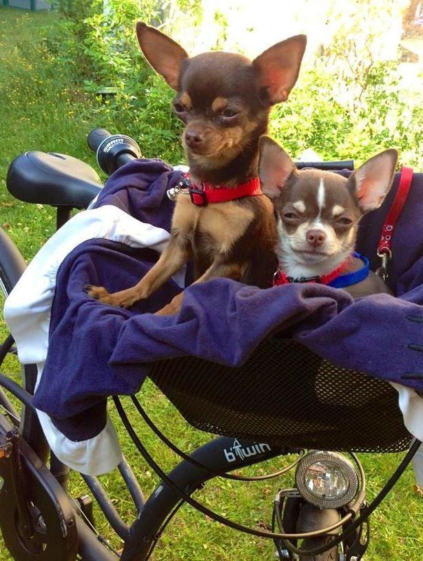 Chihuahuas in bike basket image via www.Facebook.com/CuteChihuahuaFans