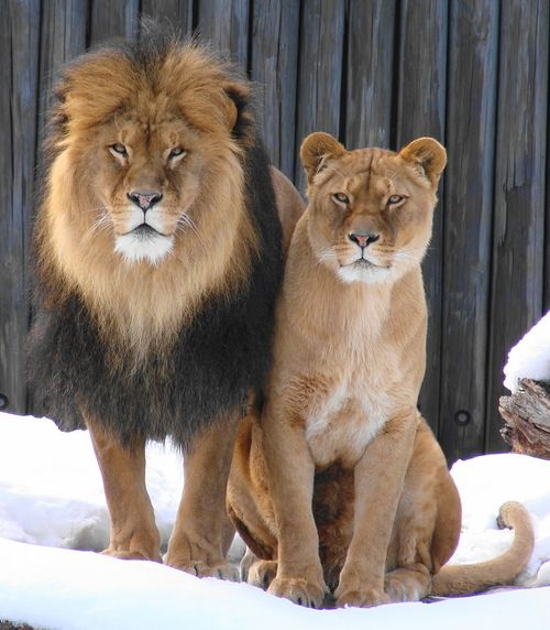 "Lion & Lioness:  ""The Handsome Couple."""
