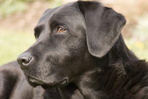 anjing Labrador Retriever hitam