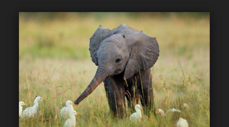 Elephants and ducks