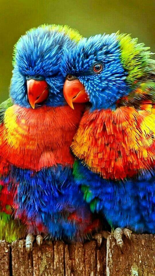 Parrott - Rainbow Lorikeets