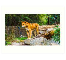 Dingo on the Alert Art Print