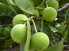 Tamanu oil is a natural topical healing agent with skin healing, antineuralgic, anti-inflammatory, antimicrobial, antibiotic, and antioxidant properties. It is pressed from nuts of either the Calophyllum inophyllum (usually) or the Calophyllum tacamahaca tree.