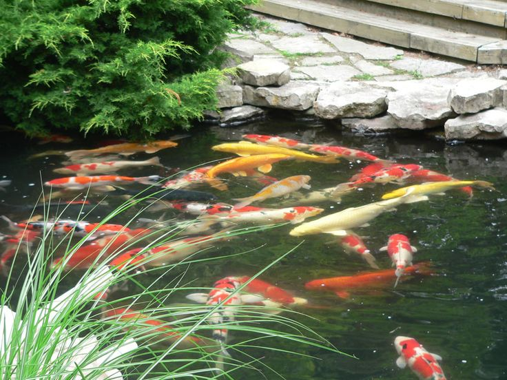 17 best images about koi pond on pinterest underwater for Looking after koi