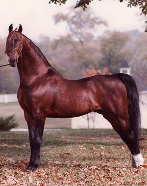 American Saddlebred. Courtesy ASHA  Excellent individual, shows strong Morgan influence.