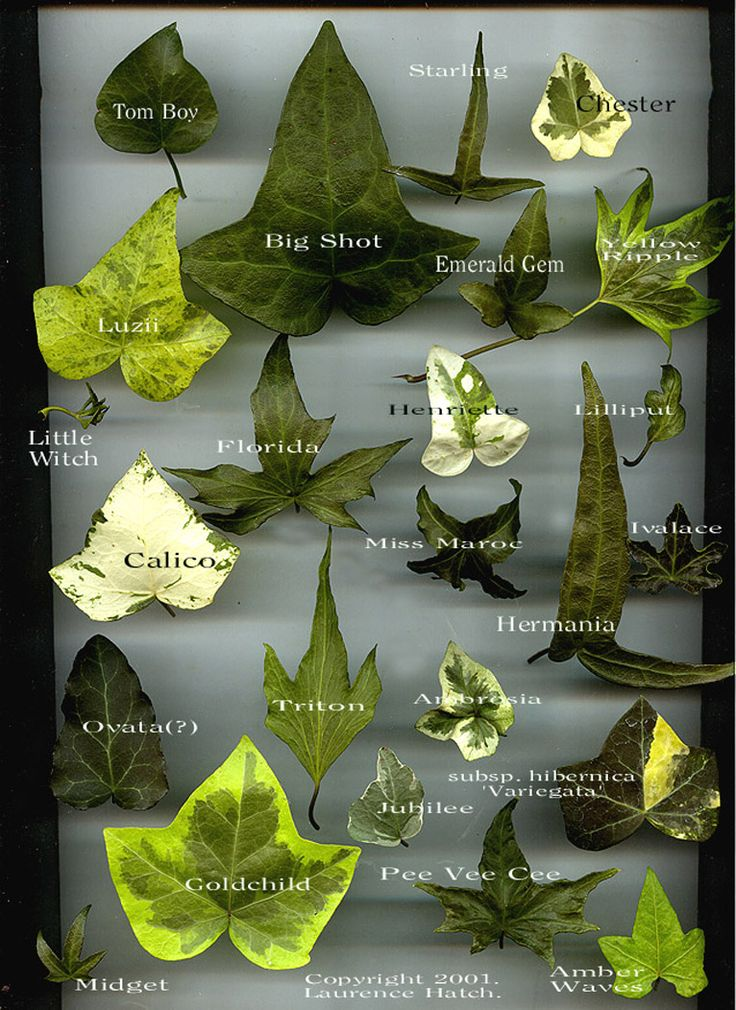 hedera helix varieties - Google Search