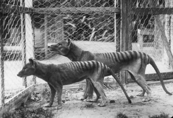 This photograph, taken sometime before 1921, shows two thylacines at the Hobart Zoo, the smaller one a juvenile. The now extinct thylacine was commonly referred to as the Tasmanian tiger or Tasmanian wolf, yet it was neither indigenous to Tasmania nor directly related to either of its namesakes. In fact, it was the largest meat-eating marsupial to have existed since the extinction of the Thylacoleo, or so-called 'marsupial lion'.