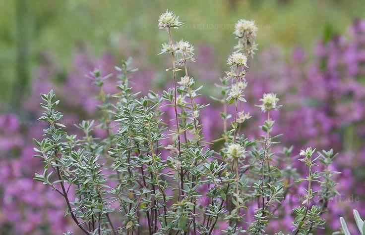 Bild von Thymus mastichina – Mastix-Thymian