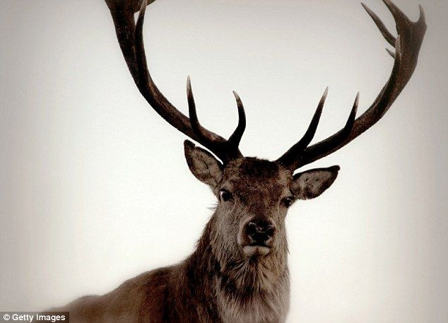 America's most dangerous animal is the Deer | Daily Mail Online