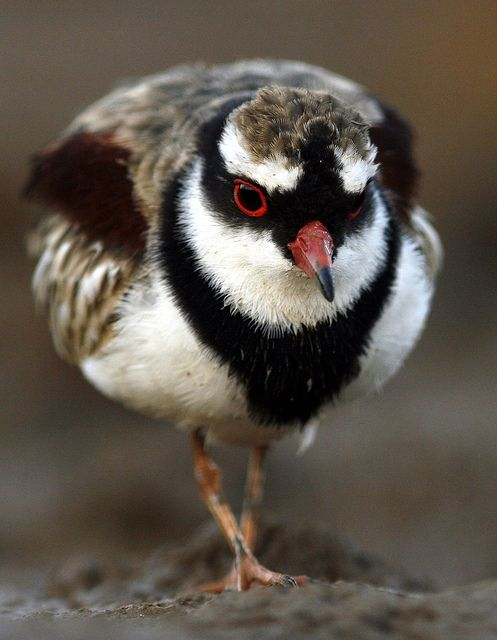 The Black-fronted Dotterel (Elseyornis melanops) is a small, slender plover, widespread throughout most of Australia, to which it is native and New Zealand, where it self-introduced in the 1950s