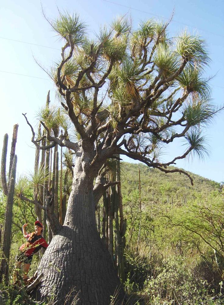 Beaucarnea gracilis pata de elefante suculenta end mica - Planta pata de elefante ...