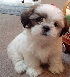 If I ever got a puppy...this would be the one.  So adorable!