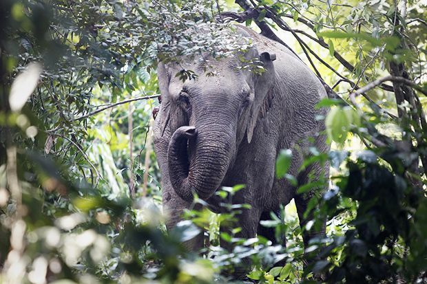 African Forest Elephant: Found in West and Central Africa's dense rainforests, this subspecies eludes humans. Conservationists estimate populations by counting dung, as they usually cannot find the mammals. (Photo: Bazuki Muhammad/Reuters)