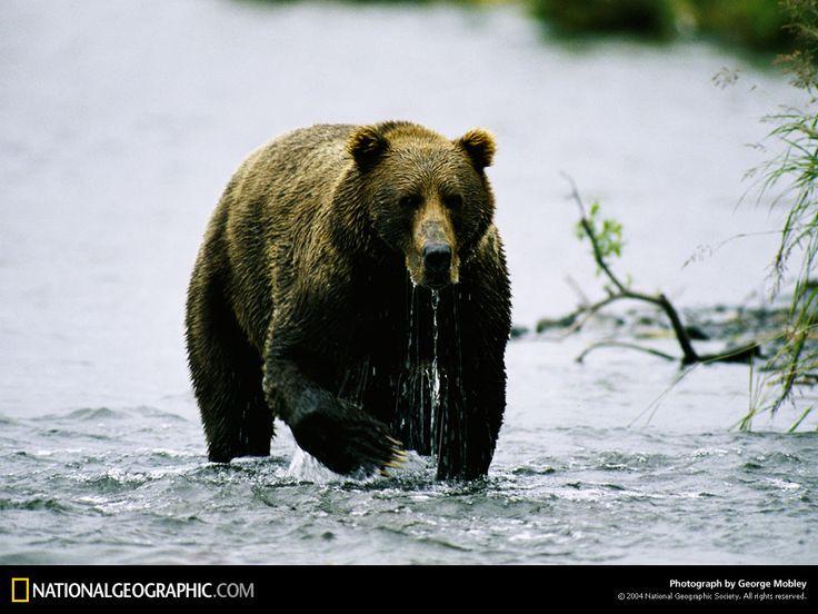 Дикі тварини - заставки для робочого столу: http://wallpapic.com.ua/national-geographic-photos/wild-animals/wallpaper-38395