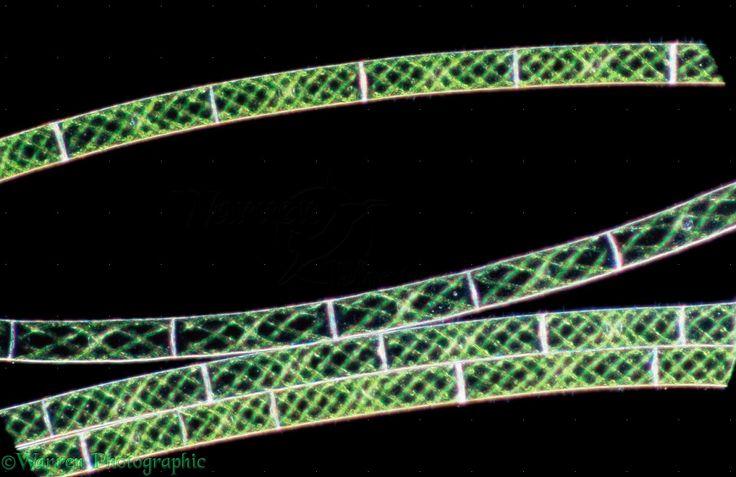 Filamentous green algae (spirogyra)