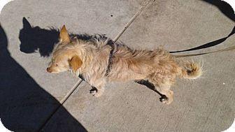 Lomita, CA - Welsh Corgi/Terrier (Unknown Type, Small) Mix. Meet Corgi Terrier Mix, a dog for adoption. http://www.adoptapet.com/pet/17491645-lomita-california-welsh-corgi-mix