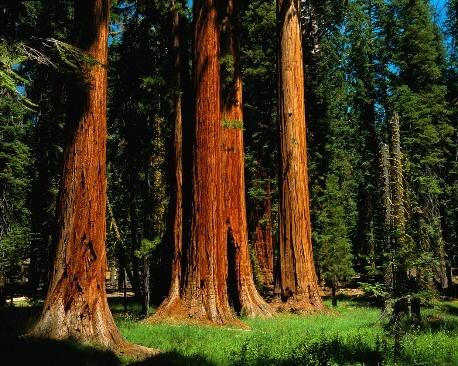 Redwood Forest National Park Google Search Redwood