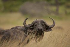 Passage To Africa - Ngorongoro Highlands - Tanzania #Buffalo