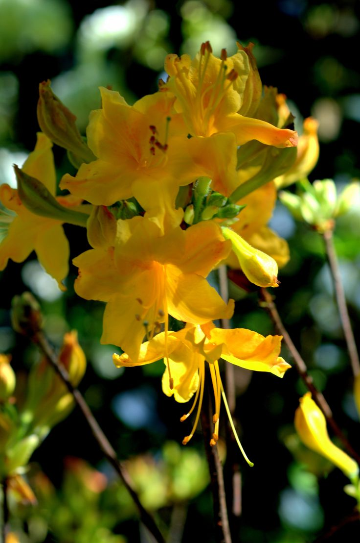 Native azalea 'Appalachian Gold', newly planted at Bellingrath!