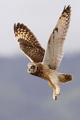 Pueo. Hawaiian owl.