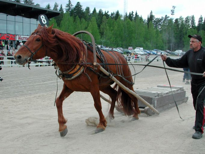 Finnhorse stallion Suikun Lukko has done it all: it started 147 times in harness races and won over 30000€. Part of the races were also monte starts. Later it has participated the working competitions and won the title of Finnhorse working horse champion in 2012. Suikun Lukko has also been used as a carriage horse and it has also been ridden in endurance competitions.