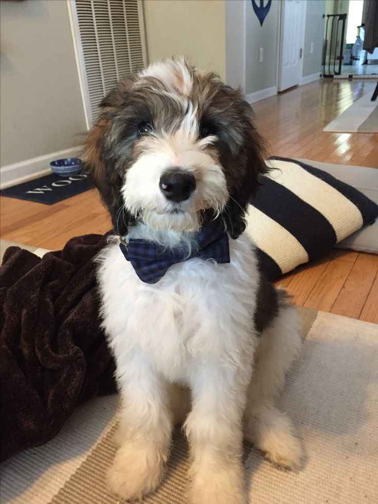 3 months old :) F1b Sable Mini Bernedoodle | Hair ...