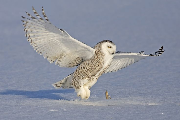 snowy owl | Snowy Owl (Bubo scandiacus) landing - Picture ...