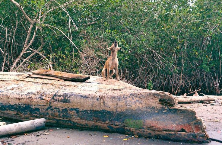 WOOF! It's a dogs life in Cartagena's sweeping mangroves.