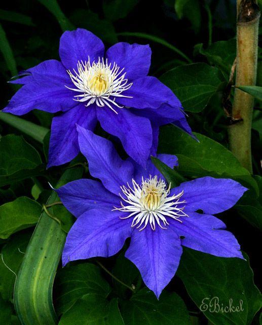 Order:Ranunculales Family:Ranunculaceae Subfamily:Ranunculoideae Tribe:Anemoneae Genus:Clematis.  Clematis 'Indigo'