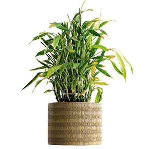 16 Best Lucky Bamboo Images On Pinterest Bamboo Indoor