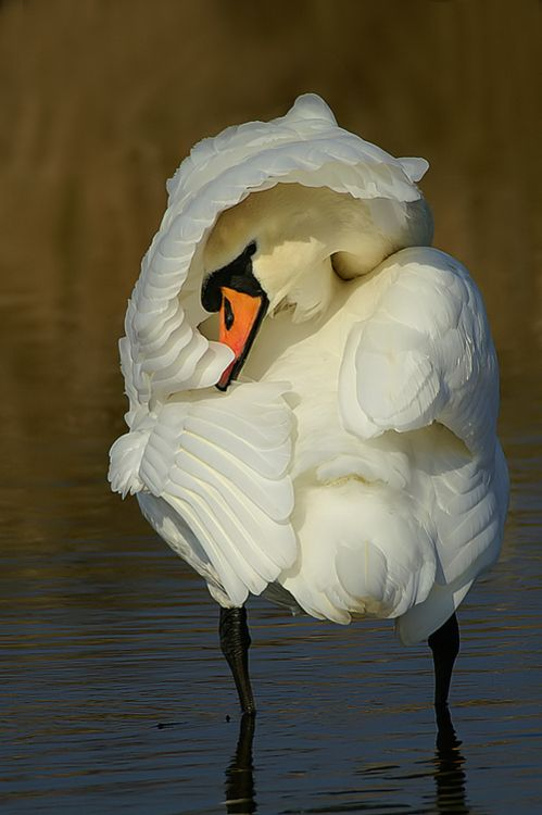 Swan: Wild Animal, Swan Lakes, Earth Songs, Dogs Cat, Shy Beautiful, Beautiful Birds, Natural, Toms Kruissink, Feathers Friends