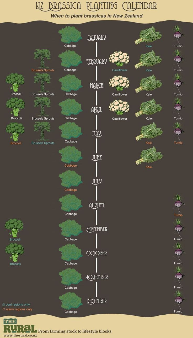 New Zealand Brassica Planting Calendar | The Rural NZ | #infographic #brassicas #gardening #planting #garden #calendar
