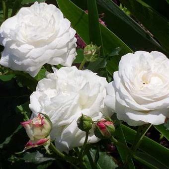 les 8 meilleures images du tableau les roses anciennes sur