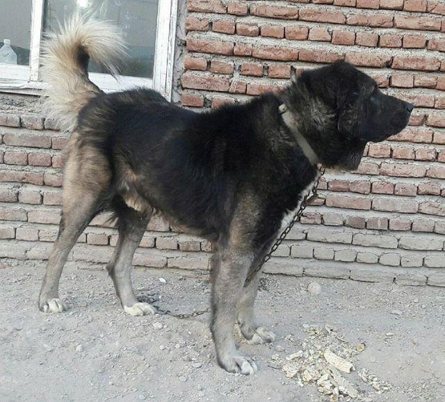 Persian Mastiff-24