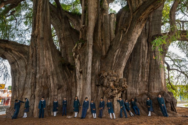 Picture of Mexican school children lined up in their blue uniforms around the outside of a tree