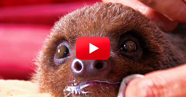 I've Never Seen So Many Baby Sloths — Cuteness Overload! | The Rainforest Site Blog