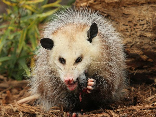 Opossum Native To Opossums are pr...