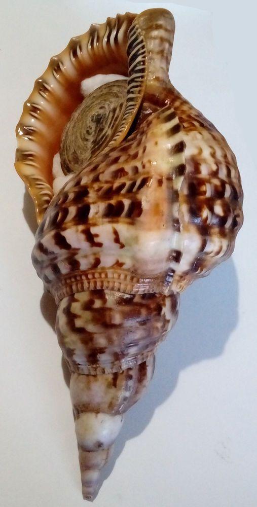 Conchiglia Shell CHARONIA VARIEGATA W/O Brasile 305 mm # LARGE & FRESH | eBay!