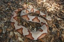 Poisonous Snakes in Georgia: Southern Copperhead