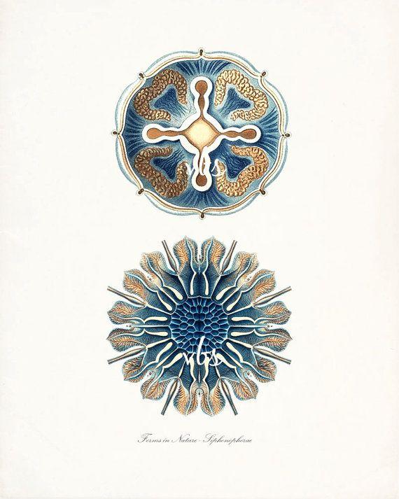 Ernst Haeckel Coastal Decor Fantasy Sea Life Giclee Art Print,  Two Jellyfish No. 7 (Siphonophorae) 8x10 blue