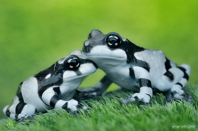 black & white frogs: Black Frogs, Zebras Frogs, Froggy, Artur Cele, Milk Frogs, Macros Photography, Natural, Animal, Black And White Frogs